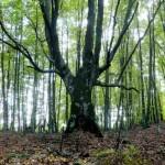 Δάσος απο οξιές