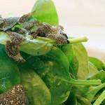 Σπανάκι baby με φλοίδες τρούφας